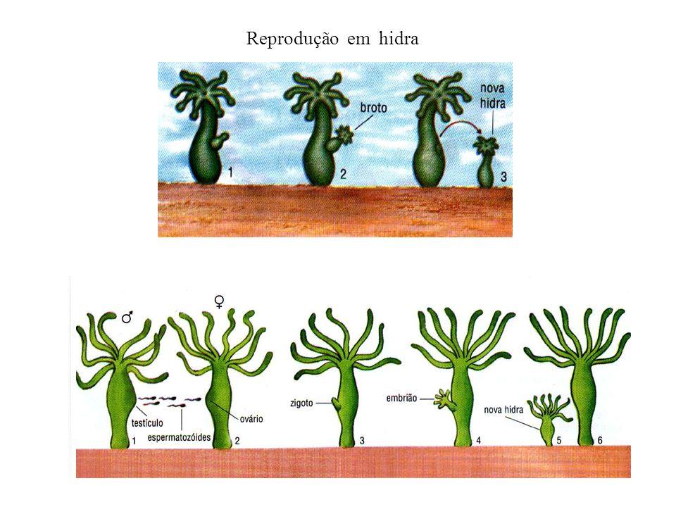 Reprodução em hidra