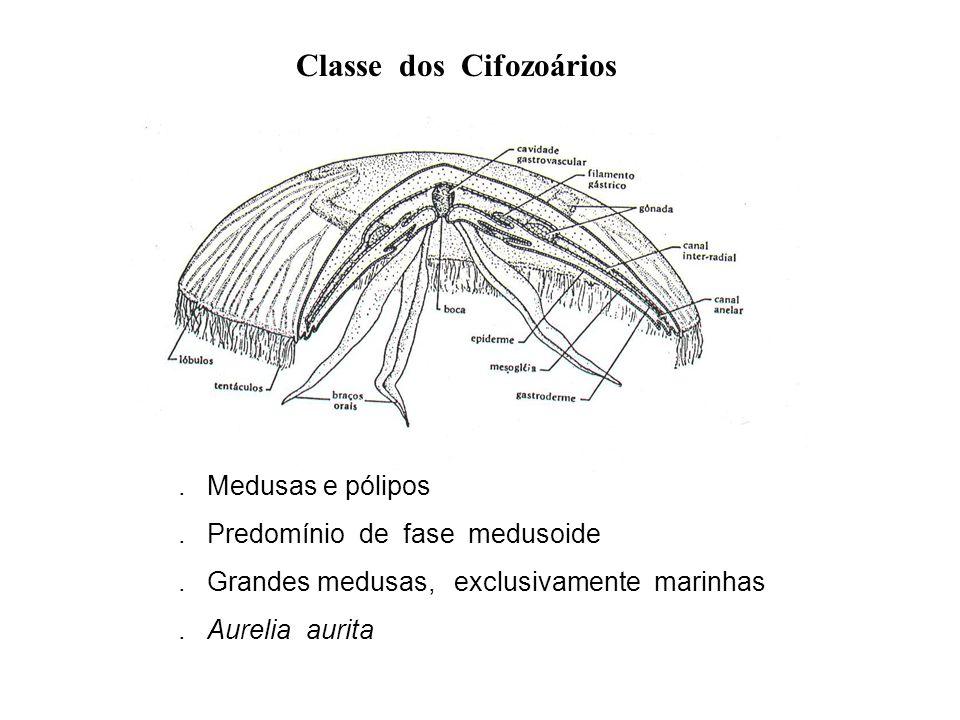 Classe dos Cifozoários. Medusas e pólipos. Predomínio de fase medusoide. Grandes medusas, exclusivamente marinhas. Aurelia aurita
