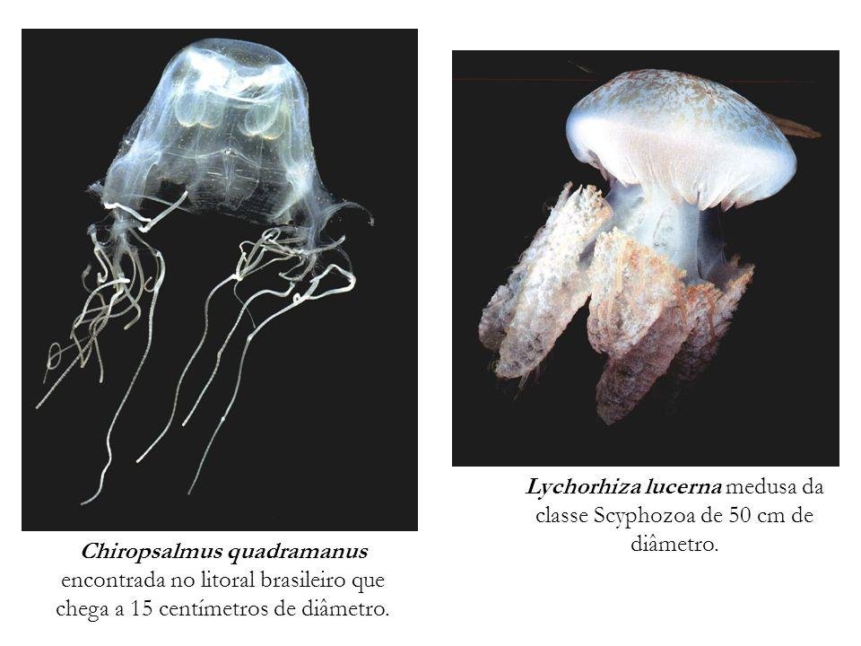 Lychorhiza lucerna medusa da classe Scyphozoa de 50 cm de diâmetro. Chiropsalmus quadramanus encontrada no litoral brasileiro que chega a 15 centímetr