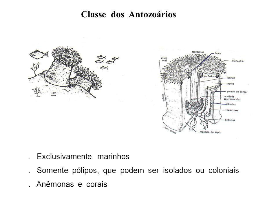 Classe dos Antozoários. Exclusivamente marinhos. Somente pólipos, que podem ser isolados ou coloniais. Anêmonas e corais