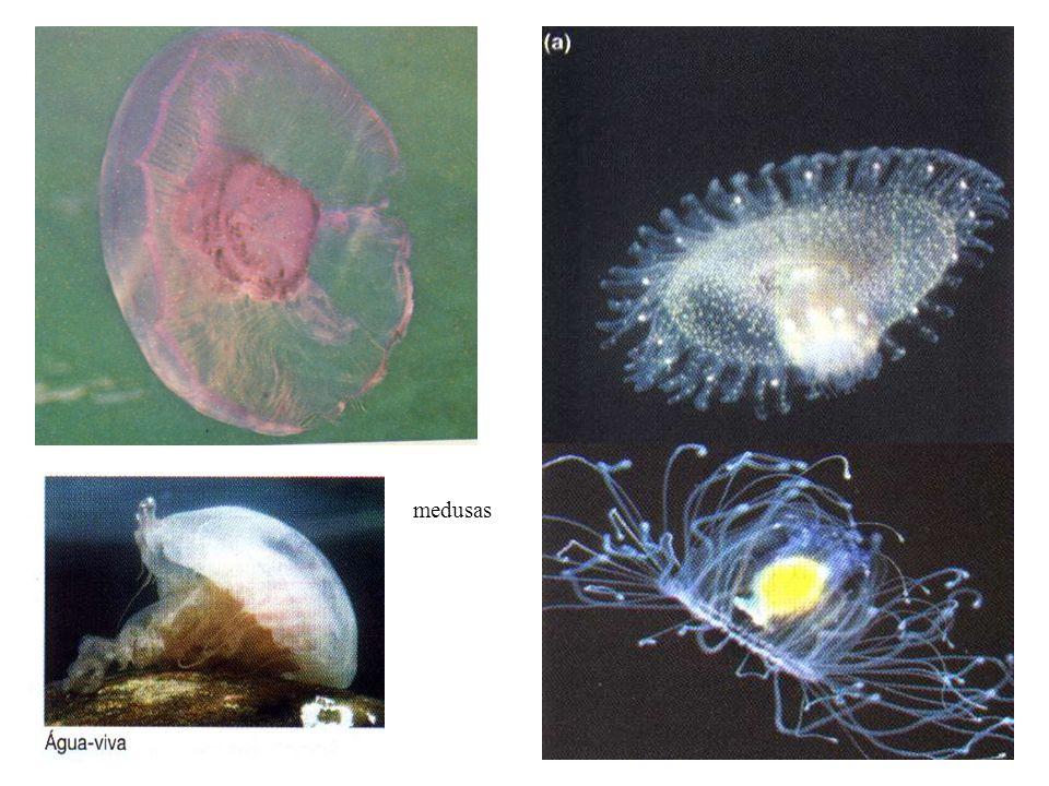 pólipos Forma do corpo de vida fixa.