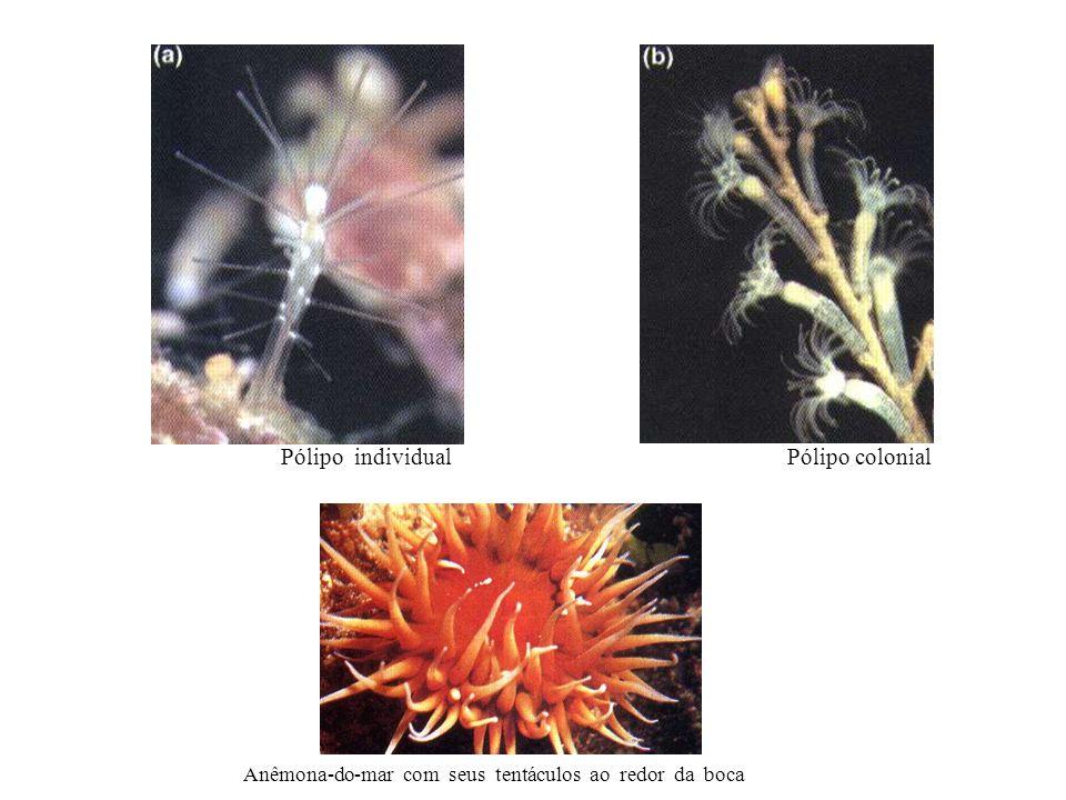 Anêmona-do-mar com seus tentáculos ao redor da boca Pólipo individualPólipo colonial