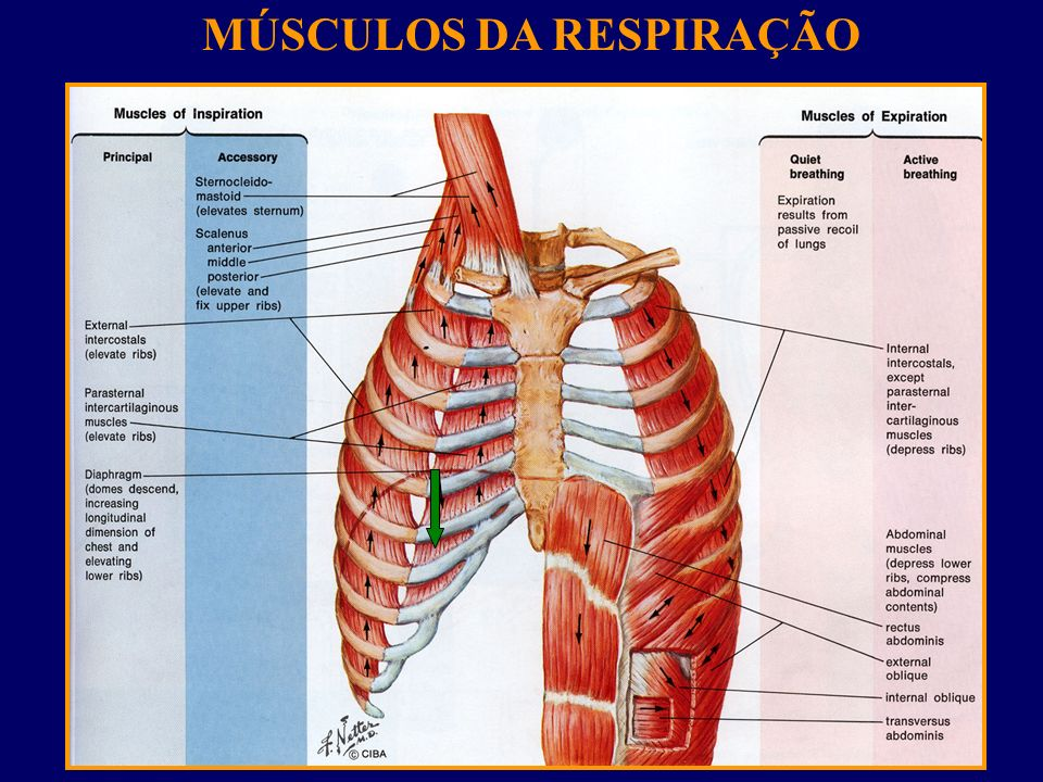 Conheça os músculos envolvidos na Respiração