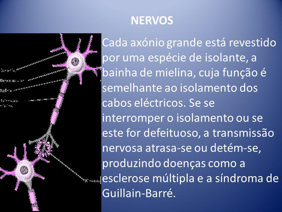 Cada axónio grande está revestido por uma espécie de isolante, a bainha de mielina, cuja função é semelhante ao isolamento dos cabos eléctricos. Se se