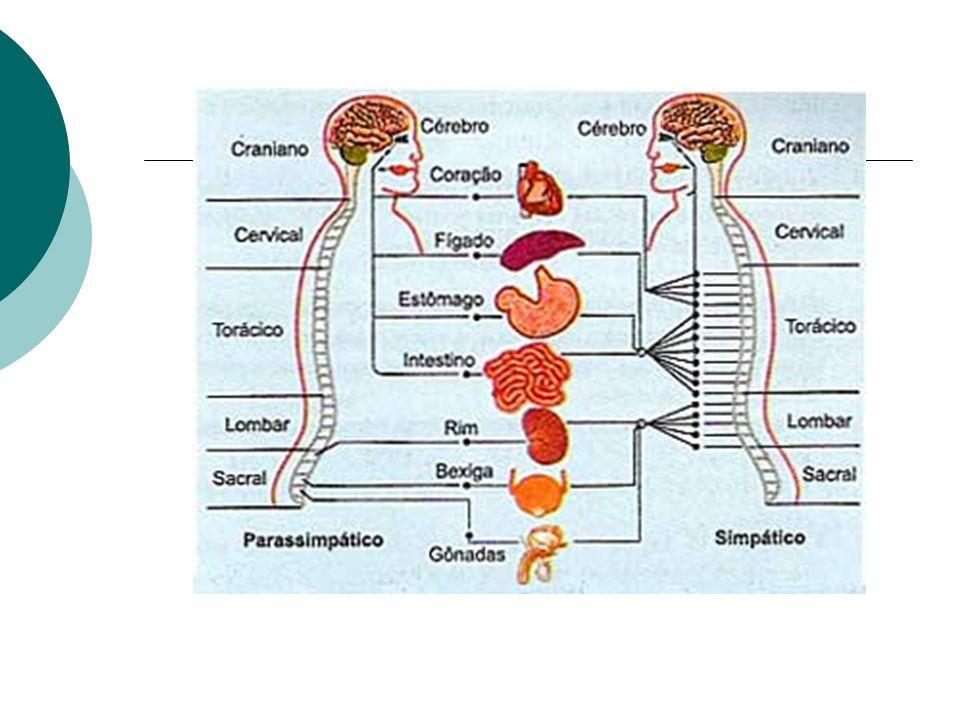 O bulbo está na região entre o encéfalo e a medula espinhal.