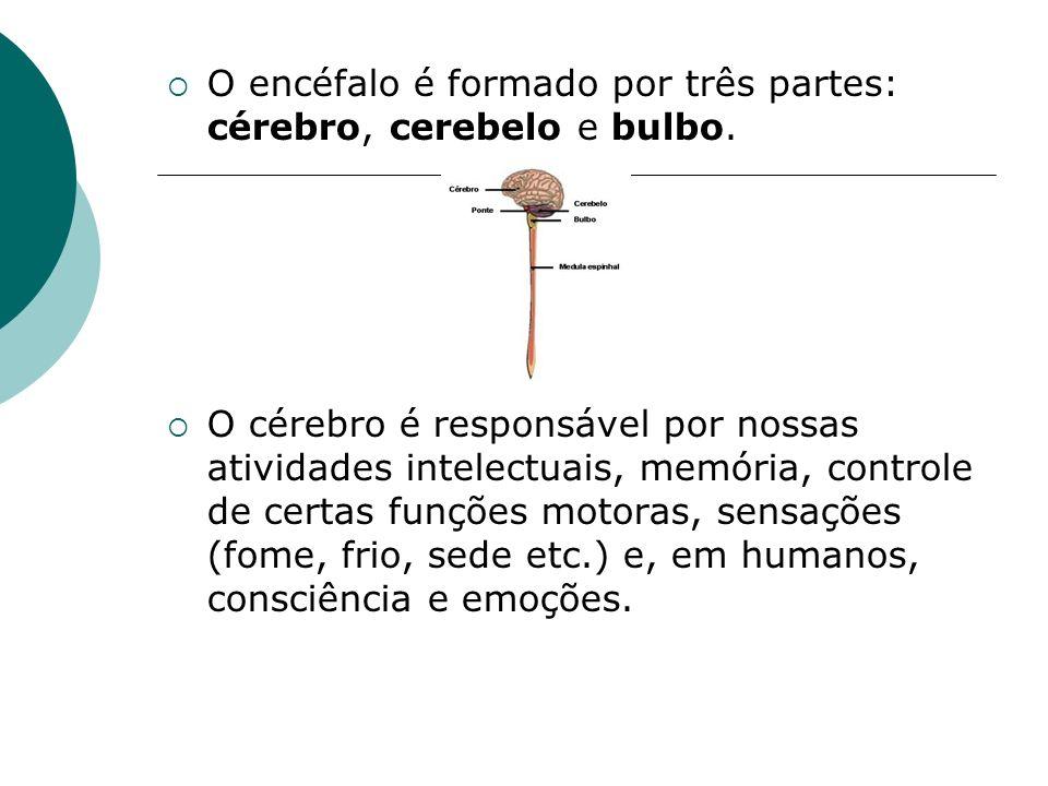 O encéfalo é formado por três partes: cérebro, cerebelo e bulbo. O cérebro é responsável por nossas atividades intelectuais, memória, controle de cert