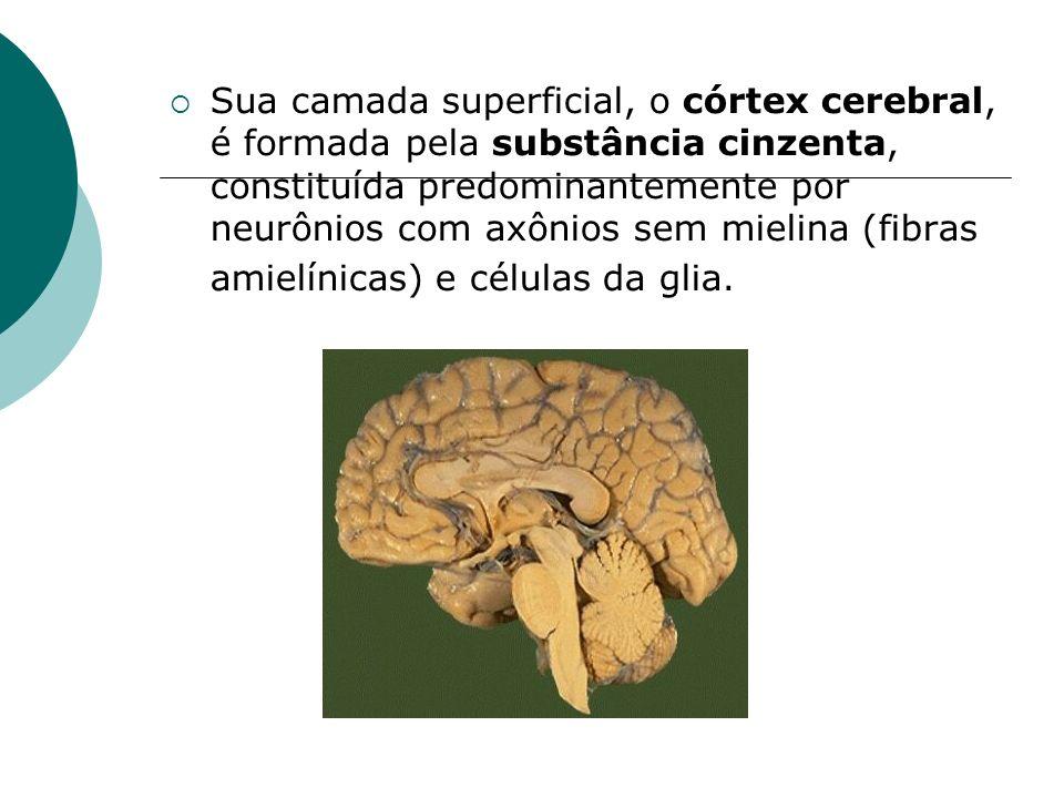 Sua camada superficial, o córtex cerebral, é formada pela substância cinzenta, constituída predominantemente por neurônios com axônios sem mielina (fi
