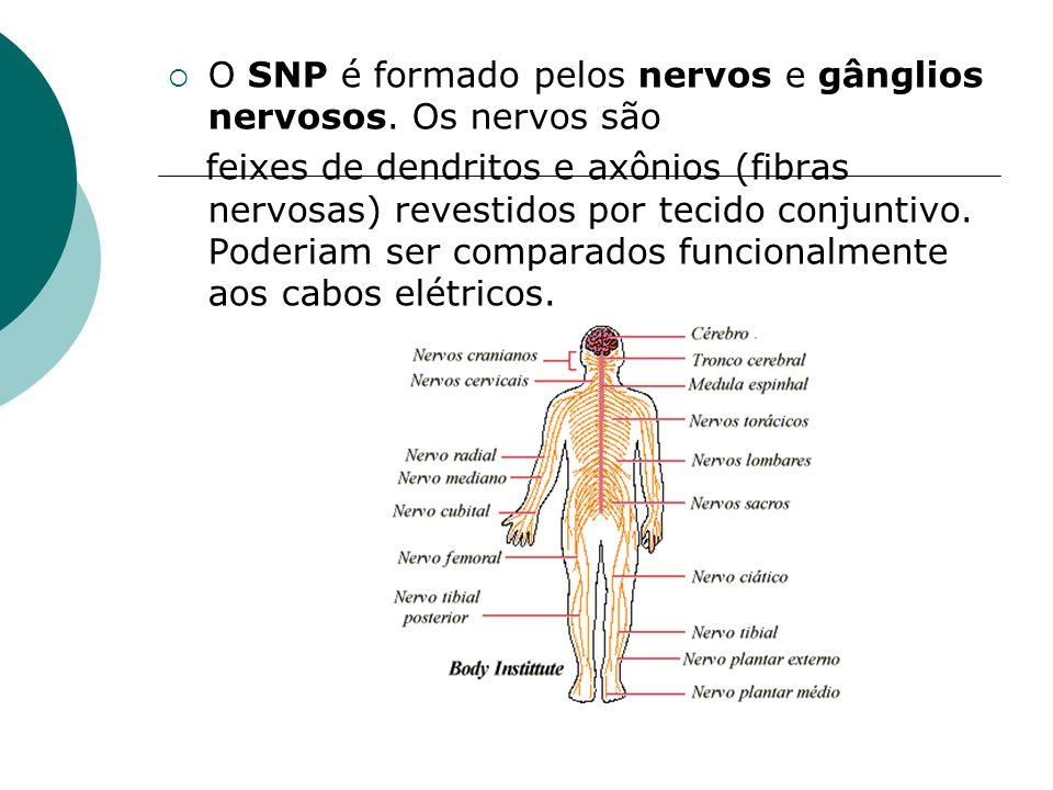 O SNP é formado pelos nervos e gânglios nervosos. Os nervos são feixes de dendritos e axônios (fibras nervosas) revestidos por tecido conjuntivo. Pode