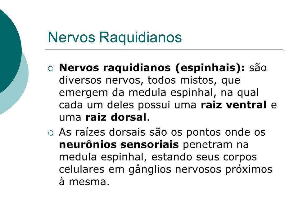 Nervos Raquidianos Nervos raquidianos (espinhais): são diversos nervos, todos mistos, que emergem da medula espinhal, na qual cada um deles possui uma