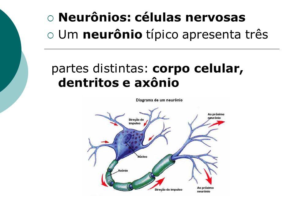 Neurônios: células nervosas Um neurônio típico apresenta três partes distintas: corpo celular, dentritos e axônio