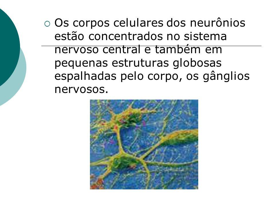 Os corpos celulares dos neurônios estão concentrados no sistema nervoso central e também em pequenas estruturas globosas espalhadas pelo corpo, os gân