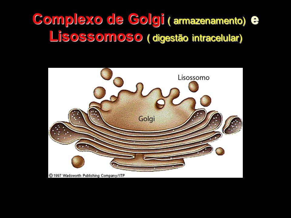 Complexo de Golgi ( armazenamento) e Lisossomoso ( digestão intracelular)