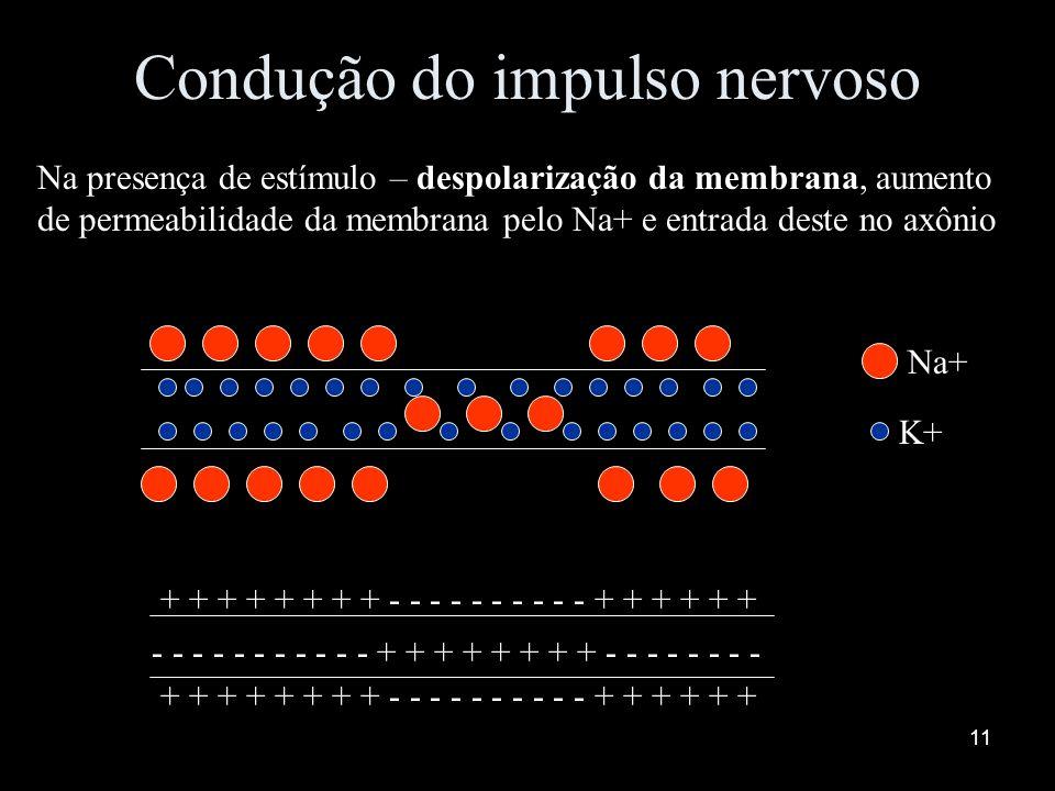 10 Condução do impulso nervoso Sentido: dendrito corpo celular axônio Estado de repouso: neurônio polarizado Alta [ ] de Na+ e baixa [ ] de k+ no meio