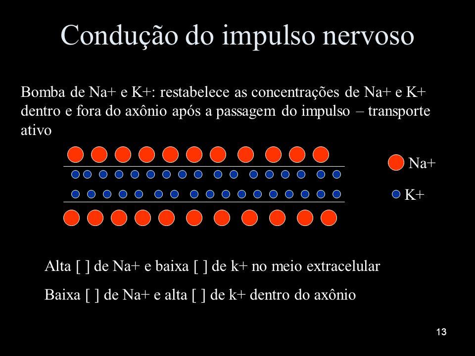 12 Condução do impulso nervoso Re-polarização da membrana: aumento de permeabilidade da membrana pelo K+ e saída deste no axônio Na+ K+ - - - - - - -