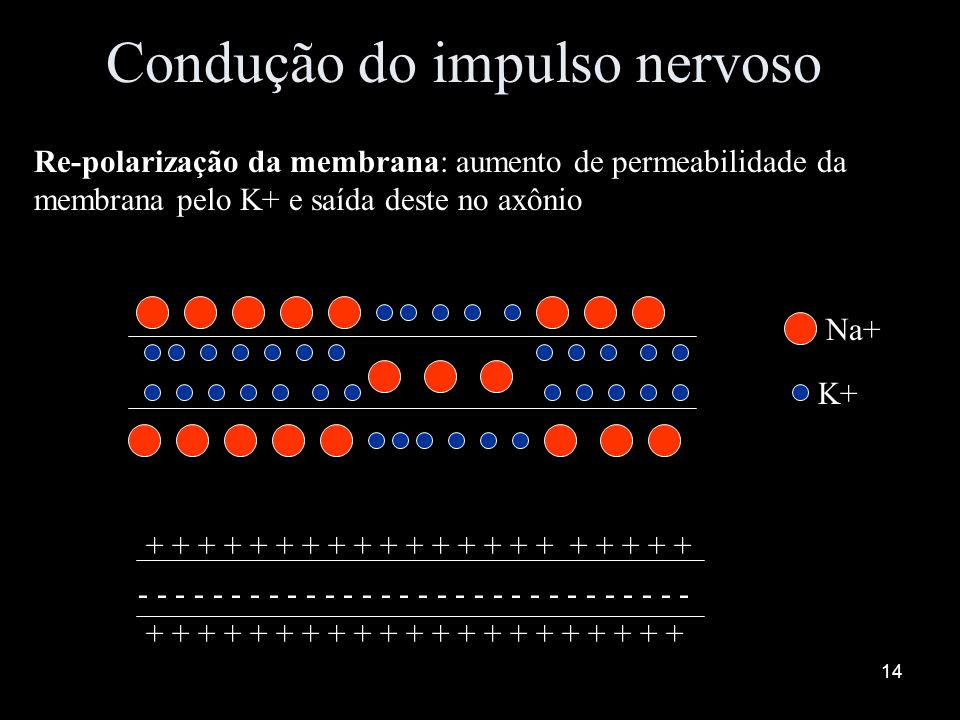 13 Condução do impulso nervoso Bomba de Na+ e K+: restabelece as concentrações de Na+ e K+ dentro e fora do axônio após a passagem do impulso – transp