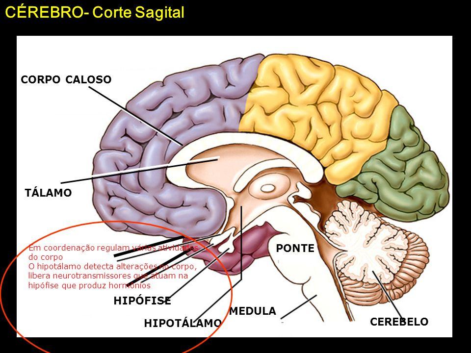 20 Cerebelo: manutenção do equilíbrio corporal e do tônus muscular Mesencéfalo: coordenação das informações referentes ao estado de contração dos músc