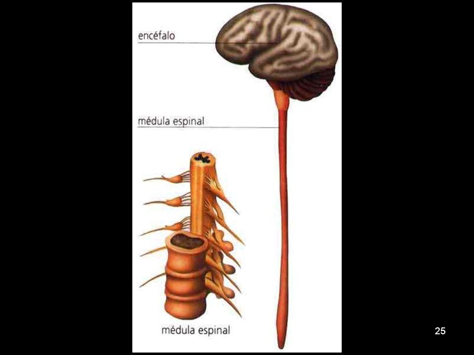 24 Medula espinhal Liga o encéfalo aos nervos espinhais Relacionada com os atos reflexos – respostas rápidas sem participação do encéfalo.