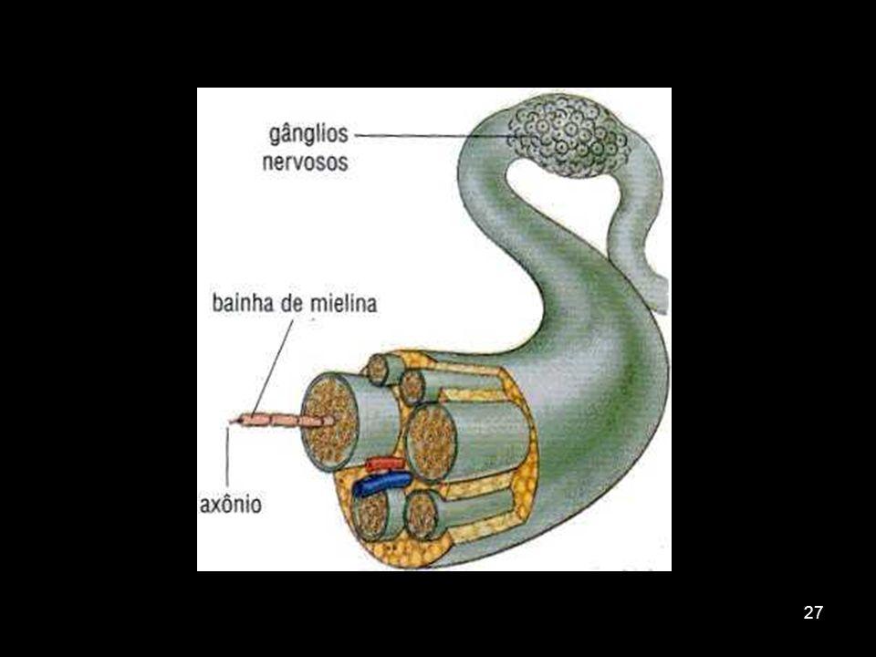 26 Sistema Nervoso Periférico Constituído de nervos e gânglios -Nervos: feixes de fibras nervosas envoltas por tecido conjuntivo -Gânglios: aglomerado