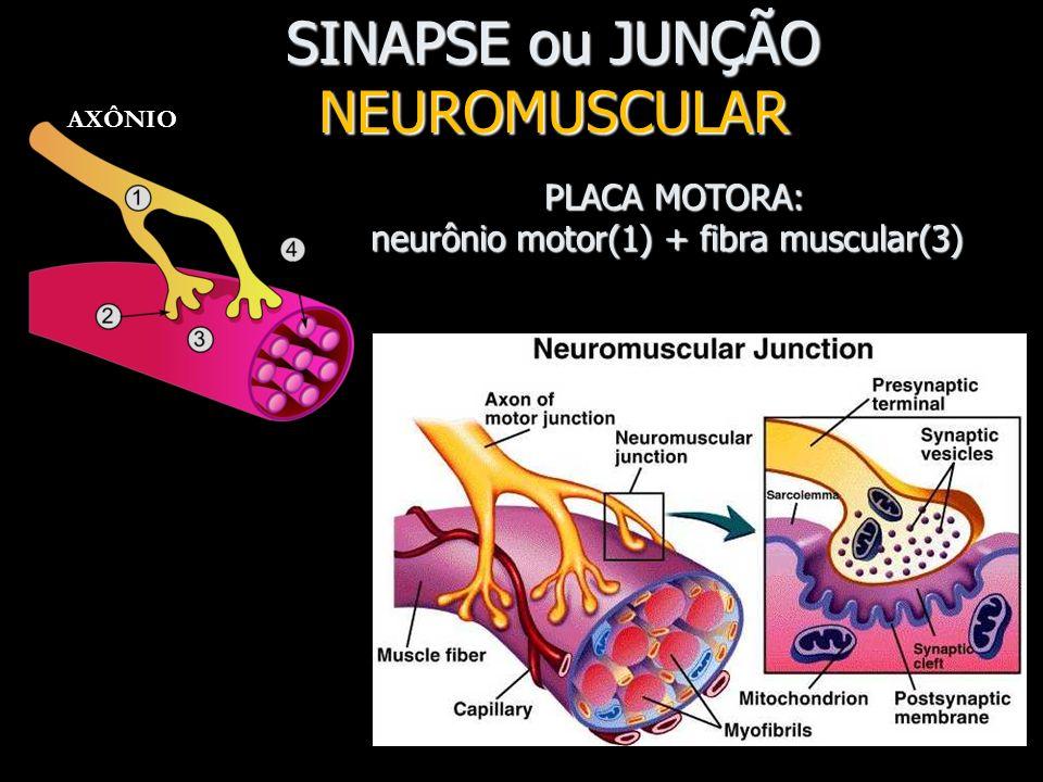8 SINAPSE NEURONEURAL Vesículas sinápticas contém NEUROTRANSMISSORES. AXÔNIO DENDRITO