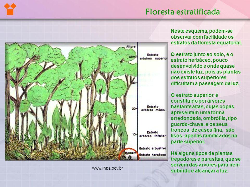 Neste esquema, podem-se observar com facilidade os estratos da floresta equatorial. O estrato junto ao solo, é o estrato herbáceo, pouco desenvolvido