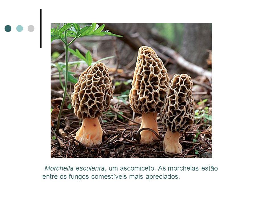 Morchella esculenta, um ascomiceto. As morchelas estão entre os fungos comestíveis mais apreciados.