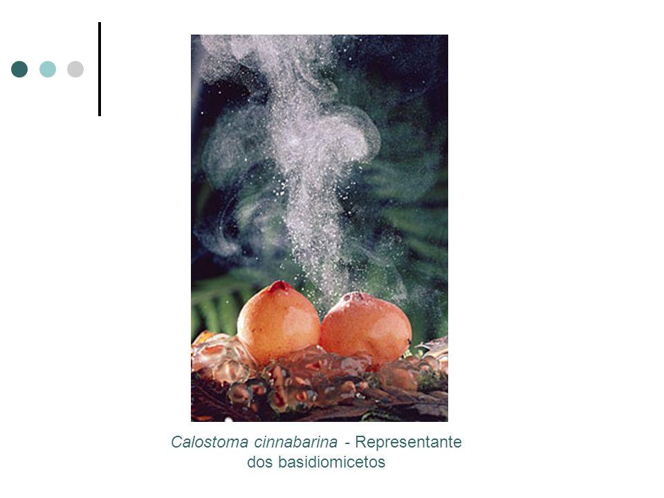 Calostoma cinnabarina - Representante dos basidiomicetos
