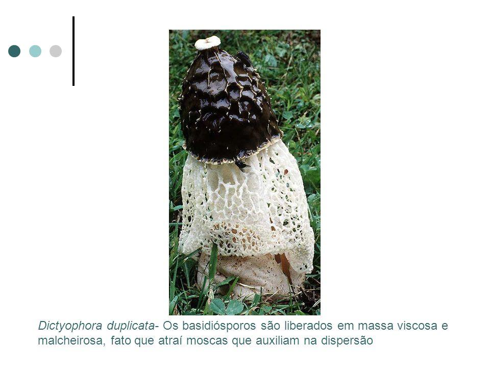Dictyophora duplicata- Os basidiósporos são liberados em massa viscosa e malcheirosa, fato que atraí moscas que auxiliam na dispersão