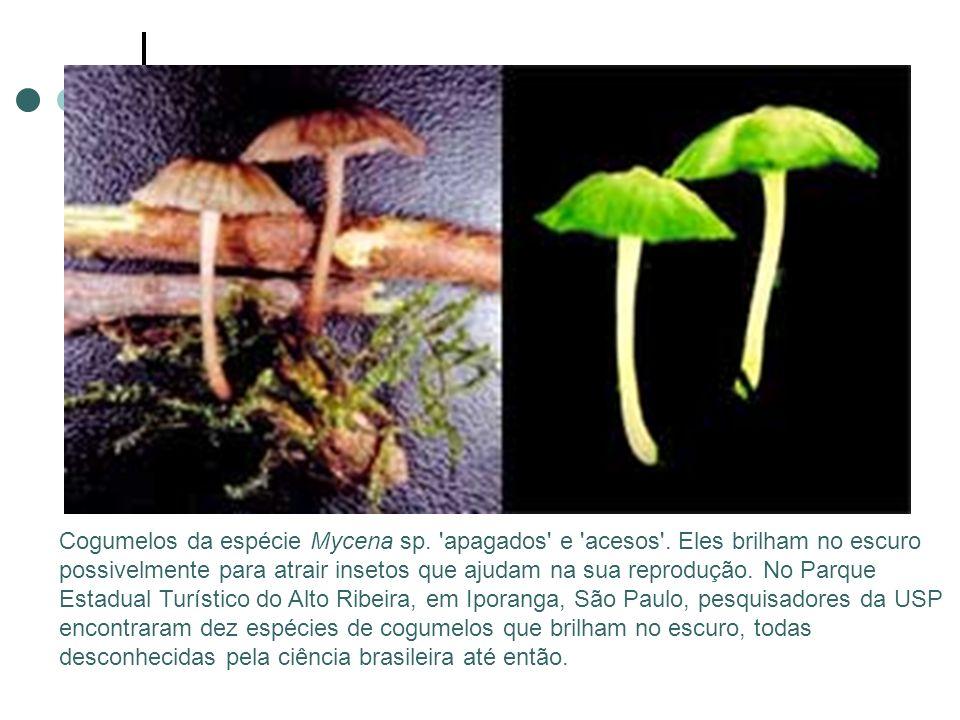Cogumelos da espécie Mycena sp. apagados e acesos .