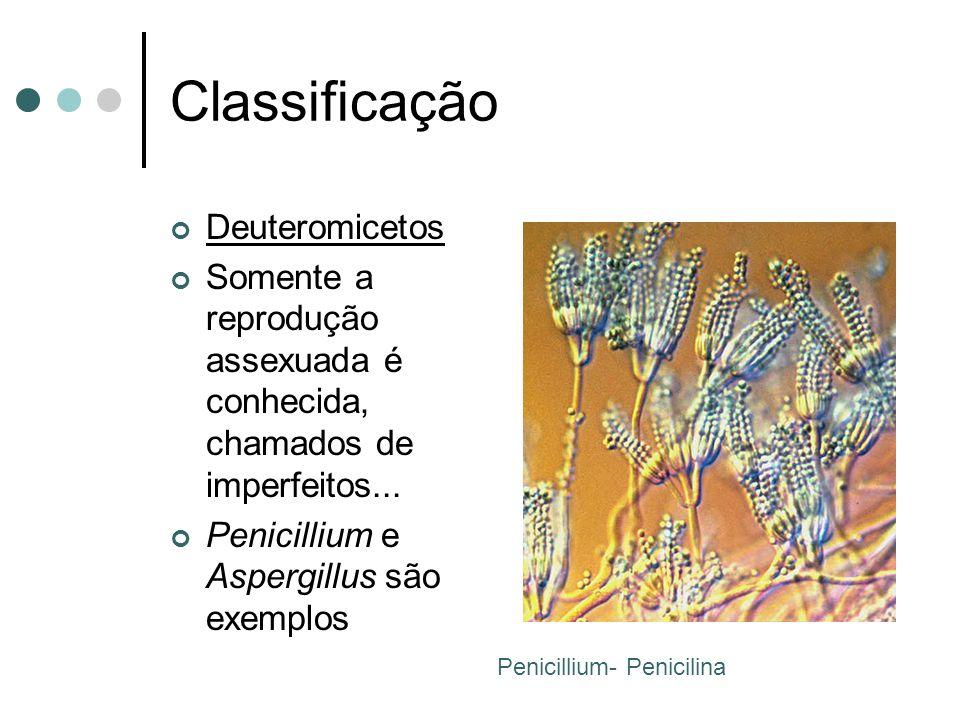 Classificação Deuteromicetos Somente a reprodução assexuada é conhecida, chamados de imperfeitos...