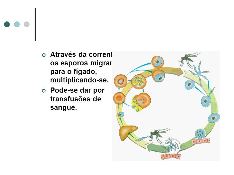 Através da corrente, os esporos migram para o fígado, multiplicando-se.
