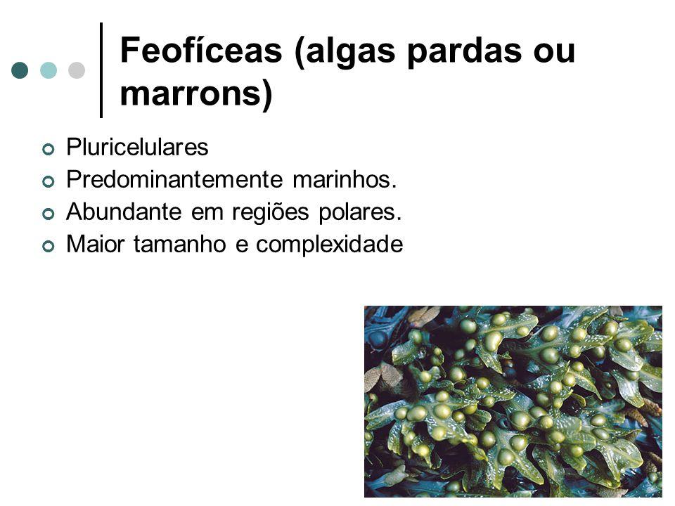 Feofíceas (algas pardas ou marrons) Pluricelulares Predominantemente marinhos.
