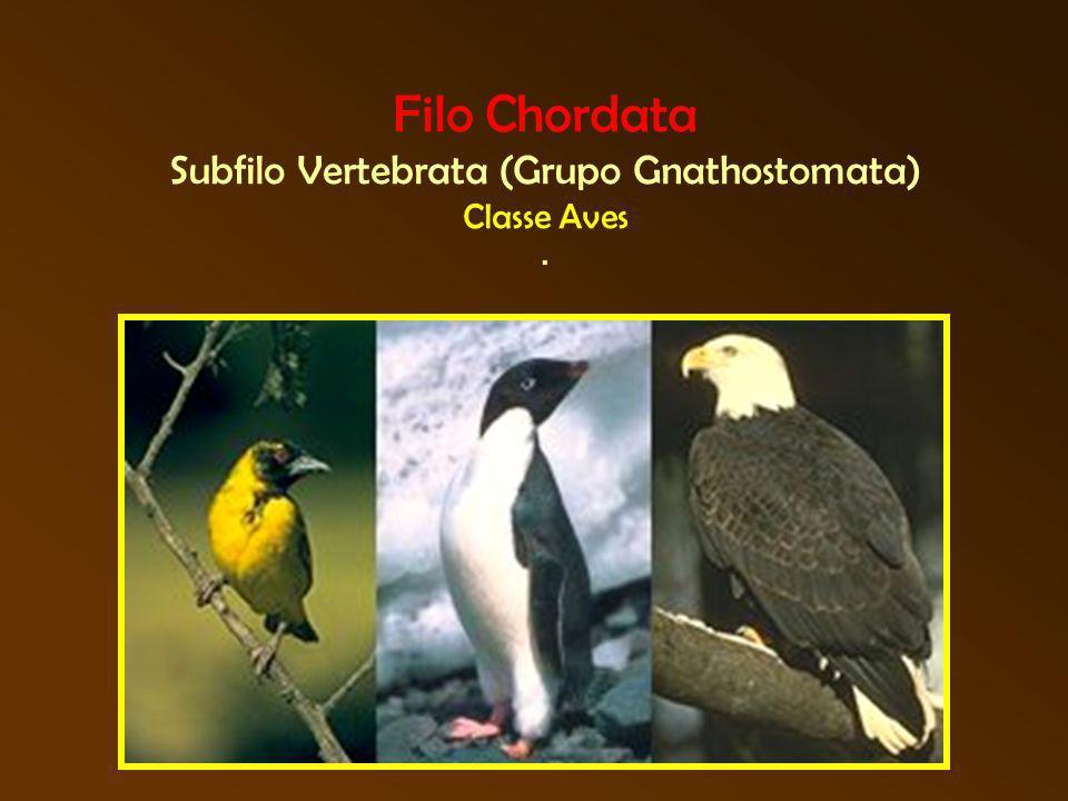 Filo Chordata Subfilo Vertebrata (Grupo Gnathostomata) Classe Aves.
