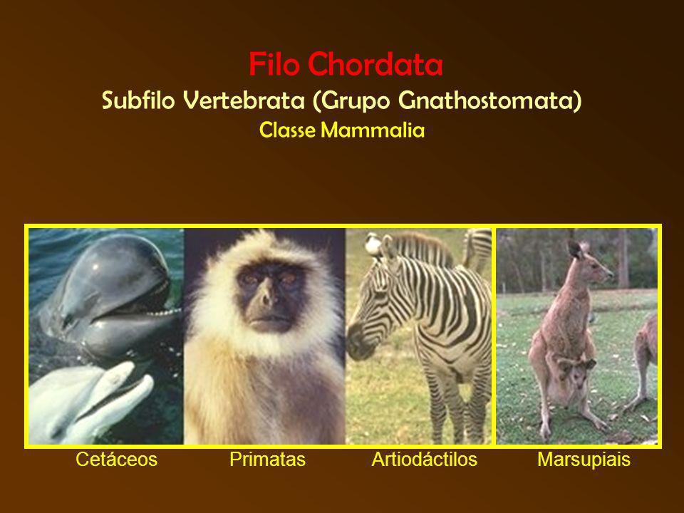 Filo Chordata Subfilo Vertebrata (Grupo Gnathostomata) Classe Mammalia CetáceosPrimatasMarsupiaisArtiodáctilos