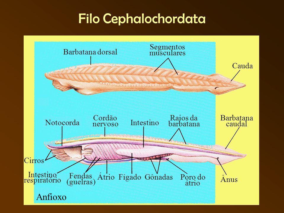 Filo Craniata Subfilo Vertebrata - Superclasse Agnatha Classe Cyclostoma - Lampréias