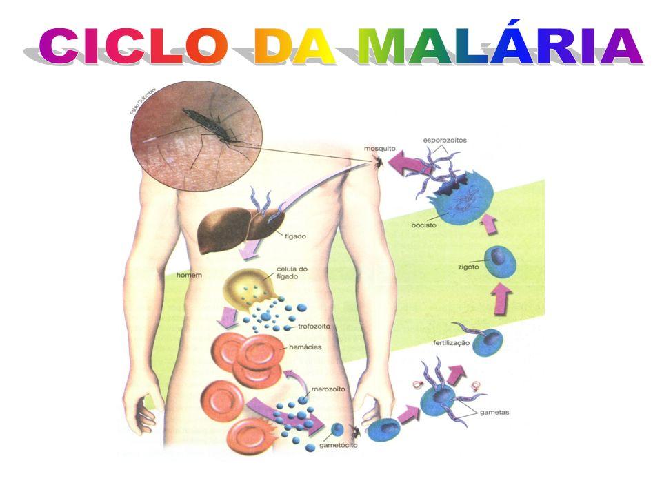 Não possuem organelas locomotoras Geralmente parasitas Ex1: malária Plasmodium malarie Plasmodium vivax, Plasmodium falsiparum A transmissão da malári