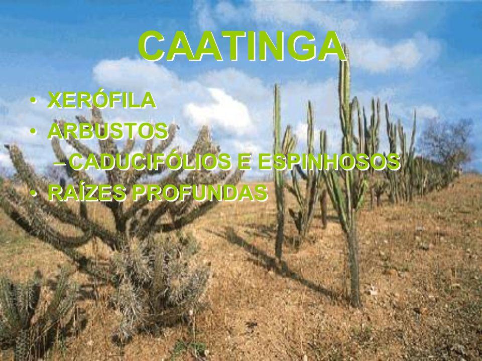 CAATINGA XERÓFILA ARBUSTOS –CADUCIFÓLIOS E ESPINHOSOS RAÍZES PROFUNDAS XERÓFILA ARBUSTOS –CADUCIFÓLIOS E ESPINHOSOS RAÍZES PROFUNDAS