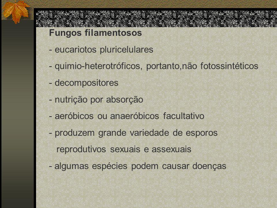 Fungos filamentosos - eucariotos pluricelulares - quimio-heterotróficos, portanto,não fotossintéticos - decompositores - nutrição por absorção - aerób