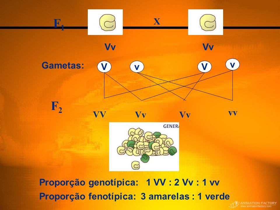 F2F2 Proporção genotípica: 1 VV : 2 Vv : 1 vv Proporção fenotípica: 3 amarelas : 1 verde Gametas: v vVV Vv F1F1 X VV Vv vv