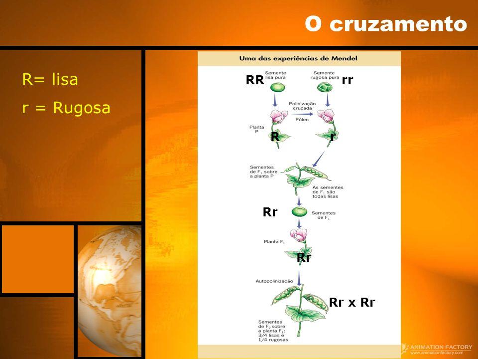 O cruzamento R= lisa r = Rugosa RRrr Rr Rr Rr x Rr Rr