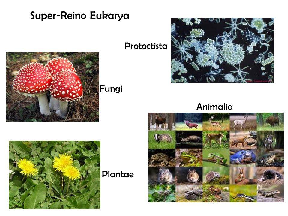 Super-Reino Eukarya Protoctista Animalia Fungi Plantae