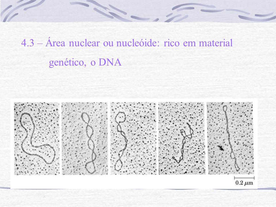 4.3 – Área nuclear ou nucleóide: rico em material genético, o DNA