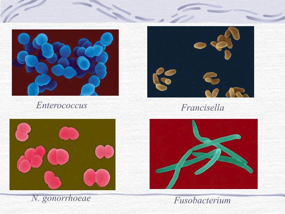N. gonorrhoeae Enterococcus Francisella Fusobacterium