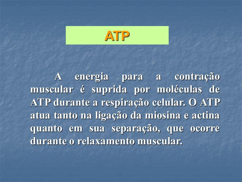 A energia para a contração muscular é suprida por moléculas de ATP durante a respiração celular. O ATP atua tanto na ligação da miosina e actina quant