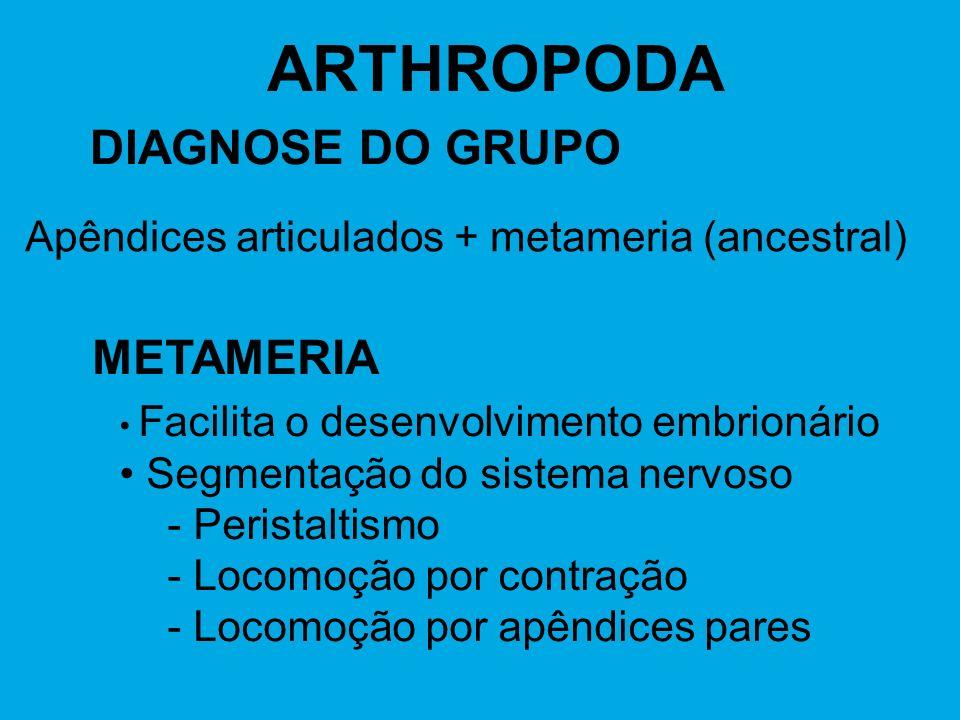 ARTHROPODA DIAGNOSE DO GRUPO Apêndices articulados + metameria (ancestral) METAMERIA Facilita o desenvolvimento embrionário Segmentação do sistema ner