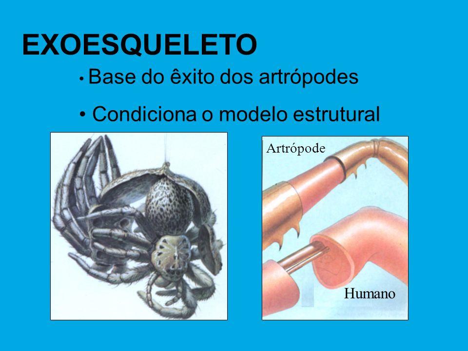 EXOESQUELETO Base do êxito dos artrópodes Condiciona o modelo estrutural Artrópode Humano