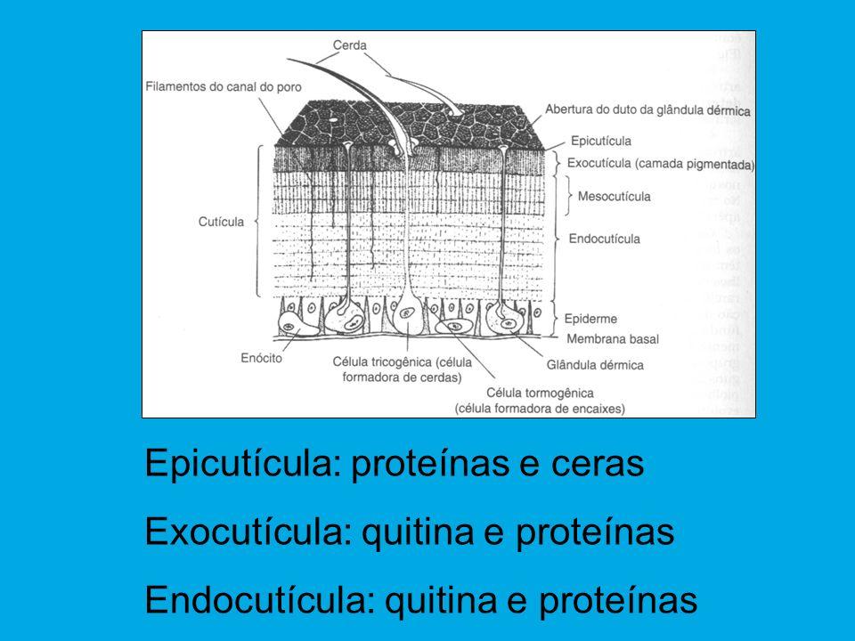 Epicutícula: proteínas e ceras Exocutícula: quitina e proteínas Endocutícula: quitina e proteínas