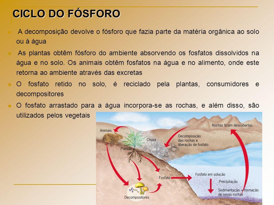 CICLO DO FÓSFORO A decomposição devolve o fósforo que fazia parte da matéria orgânica ao solo ou à água As plantas obtêm fósforo do ambiente absorvend