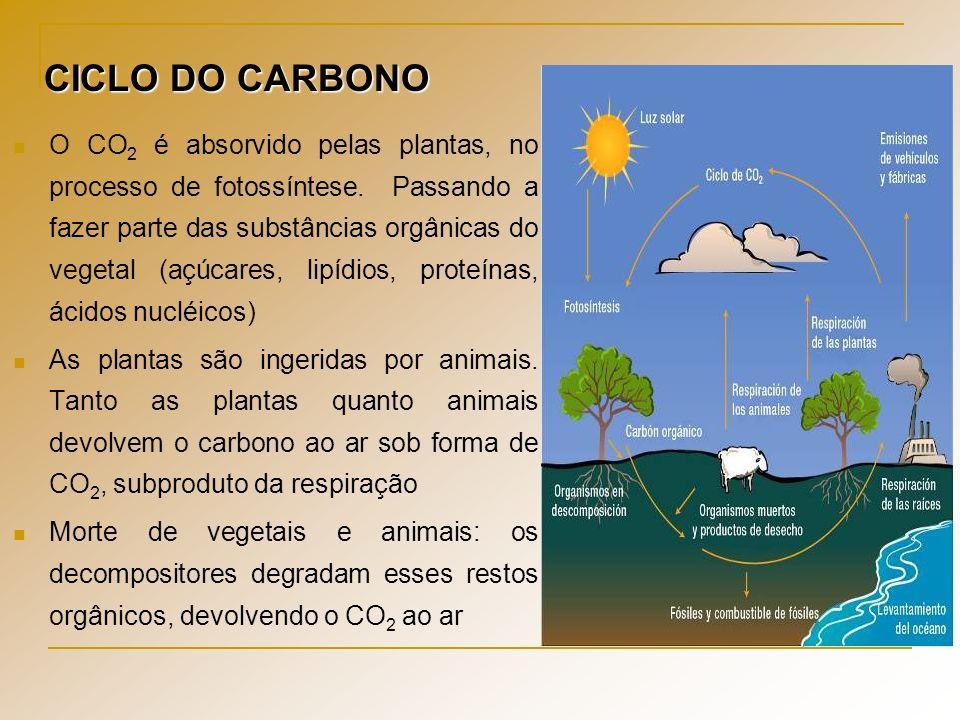 O CO 2 é absorvido pelas plantas, no processo de fotossíntese. Passando a fazer parte das substâncias orgânicas do vegetal (açúcares, lipídios, proteí
