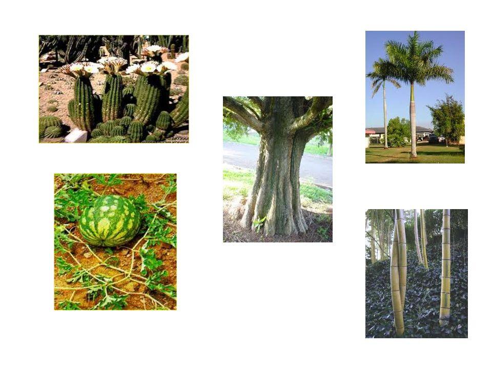 Sistemas filogenéticos Abandono da teoria da imutabilidade das espécies considerando as plantas como reflexo de sua evolução.