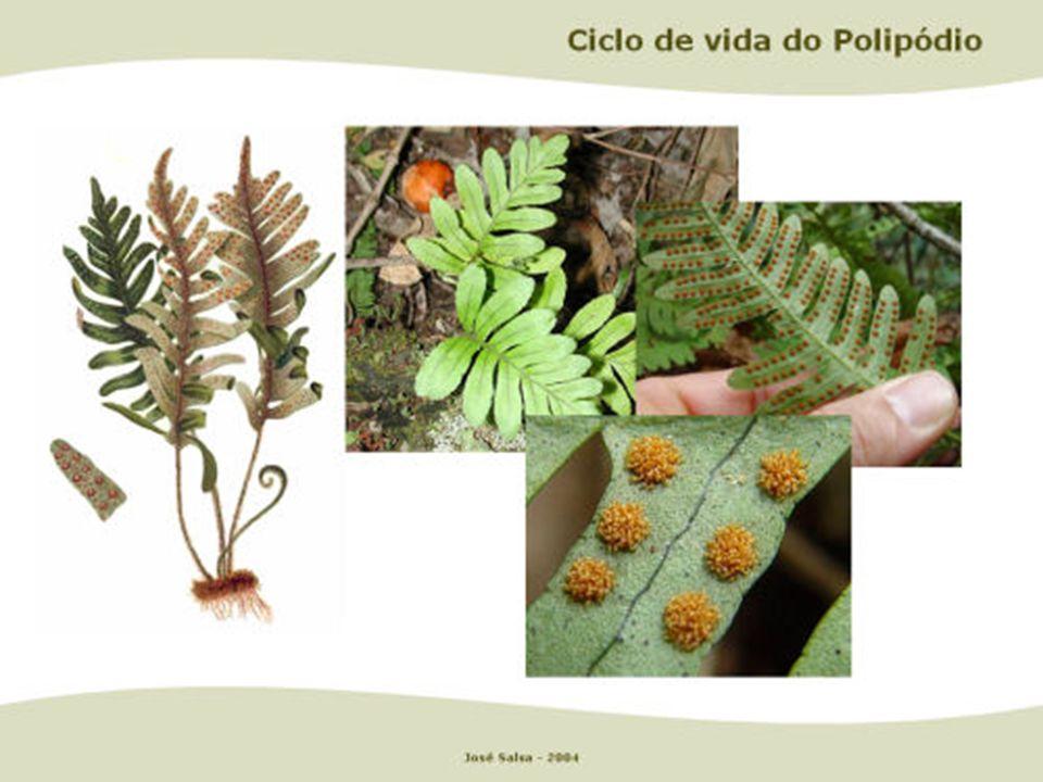 As samambaias também reproduzem-se por metagênese, sendo a fase duradoura a esporofítica. A fase transitória, o gametófito, é também conhecido como pr
